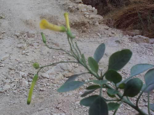 Une fleur dans le désert au Wadi Qelt au pied du Monastère St-Georges en Israël (Photo H. Giguère)