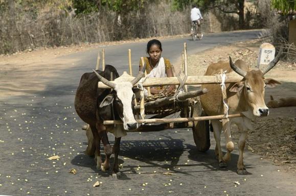 Jeune fille sur un char à bœufs réunis par un joug, district d'Umaria, Madhya Pradesh, Inde. Crédit photo : Wikimedia Commons Date 2012 par Yann.